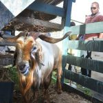 Goat at Agriculture