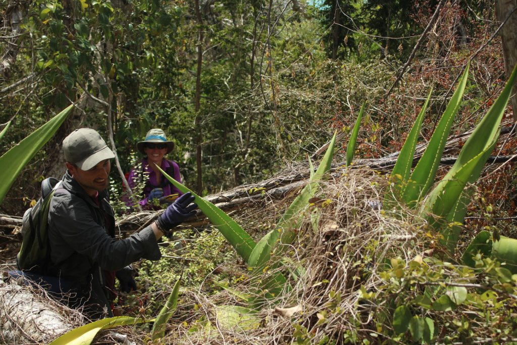 scientists search for agave in forest