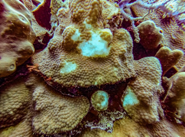 stony coral tissue loss disease