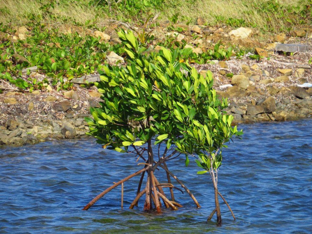Mangrove in Jost Van Dyke